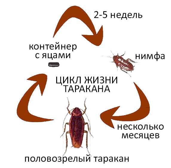 Лесной таракан – симпатичный обитатель лесной подстилки