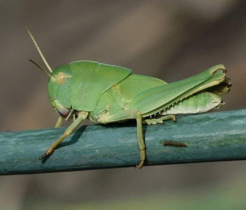Две стадии развития саранчи: одиночная или стадная, процесс размножения, есть ли куколка
