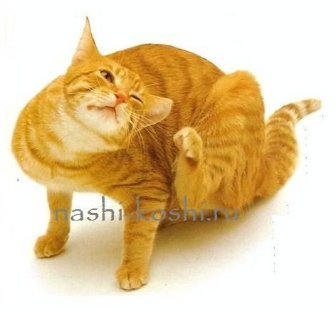Лечение зуда у кошки