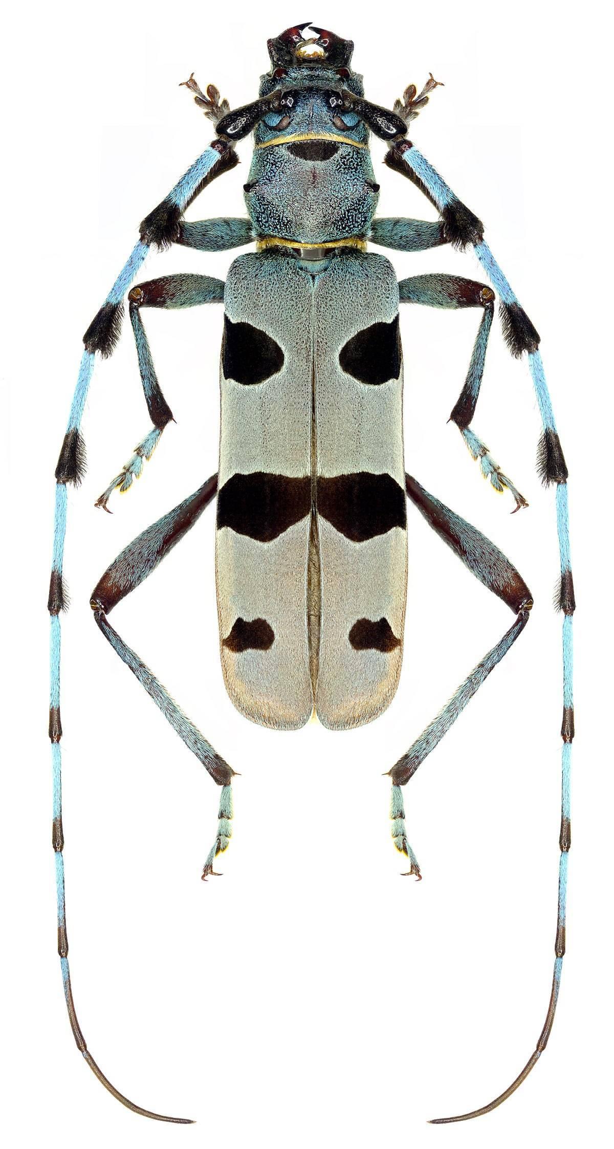 Усач-плотник: питание и развитие насекомого