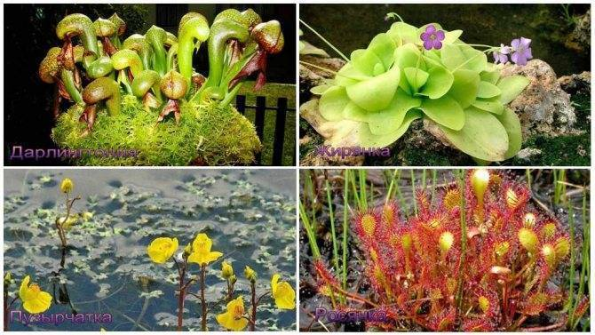 Цветок-хищник, питающийся мухами
