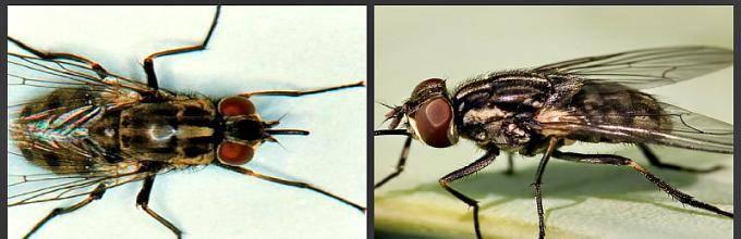 Почему в августе много мух. почему мухи осенью кусаются? места обитания жигалок