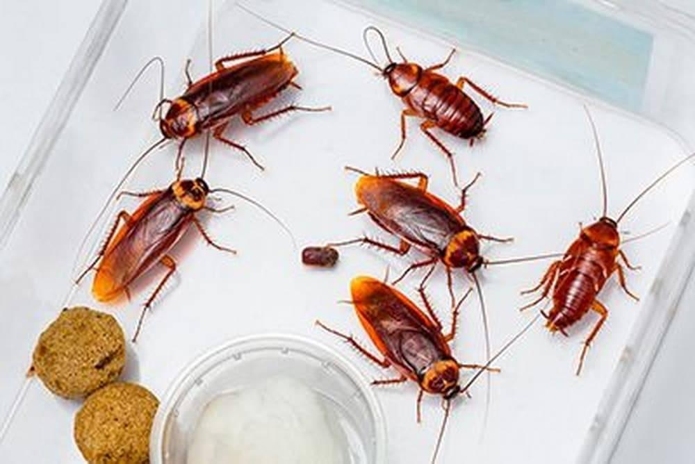 Мраморный таракан (nauphoeta cinerea). мраморные тараканы — как разводить правильно