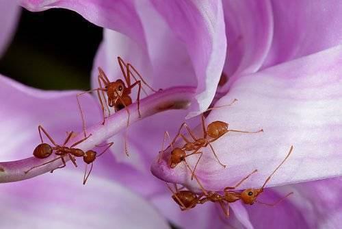 Как вывести муравьев на пионах: химические препараты и народные методы