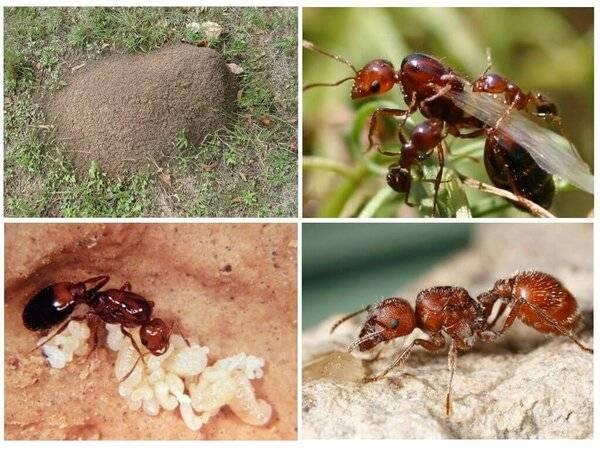 Знакомьтесь: муравьи россии