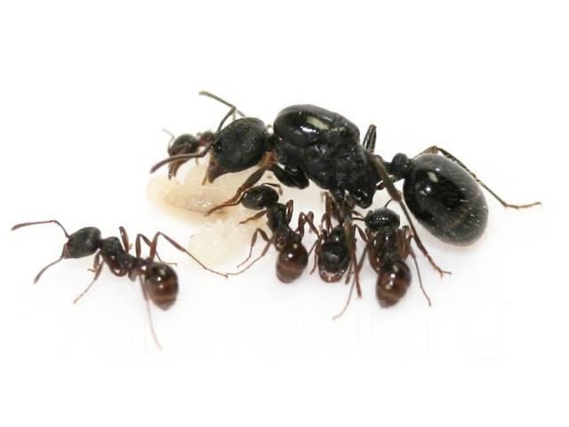 Как выглядит и как найти матку муравьев в квартире – способы избавления от вредителей