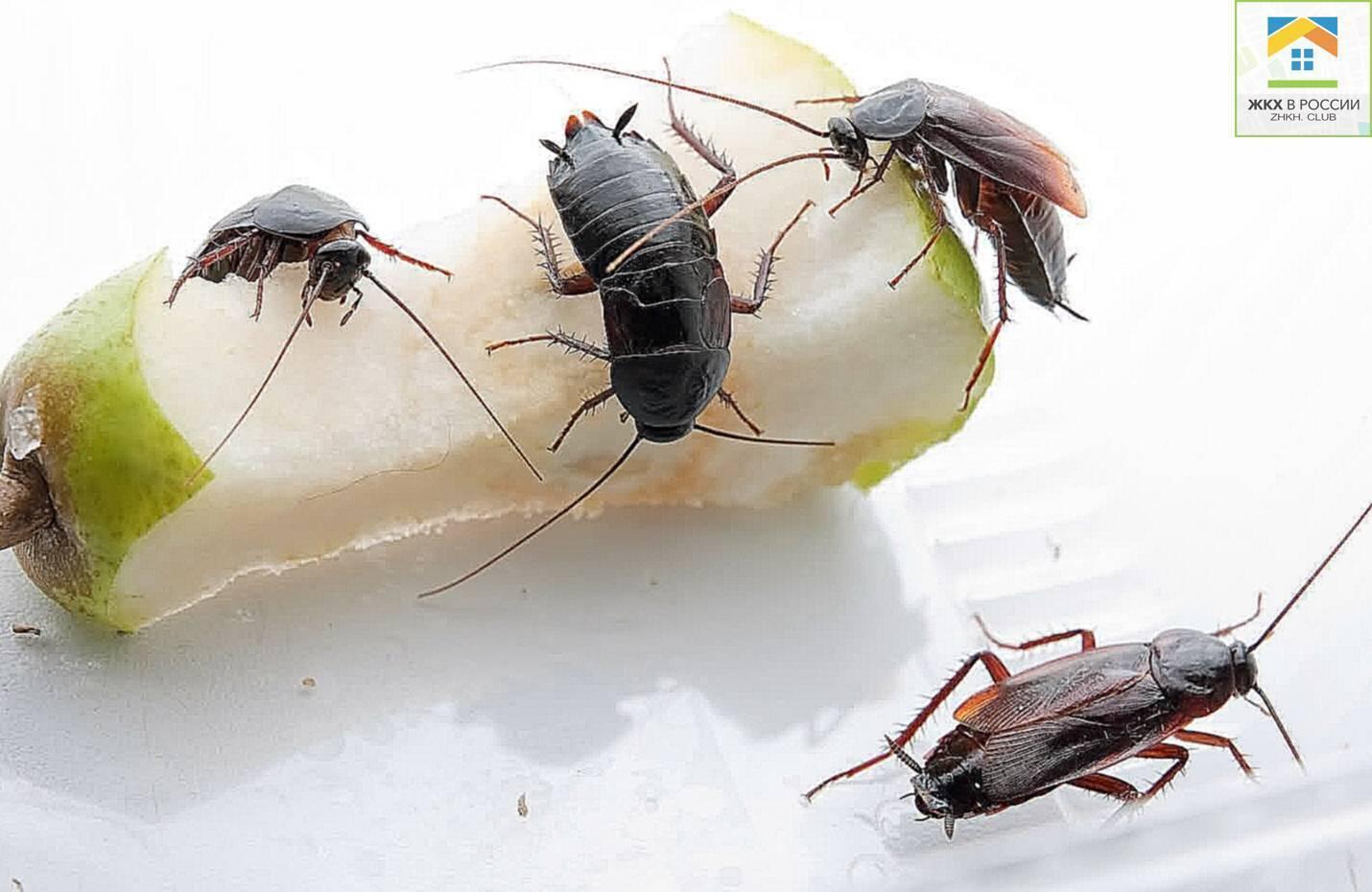 Лучшие народные средства от тараканов в квартире — 6 рецептов