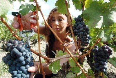 Как защитить виноград от птиц