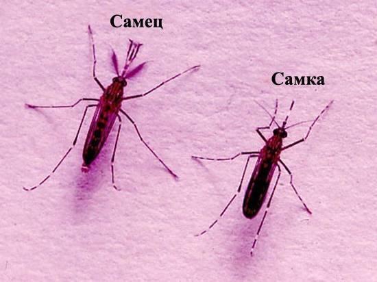 Чем питаются комары: рацион питания кровососов