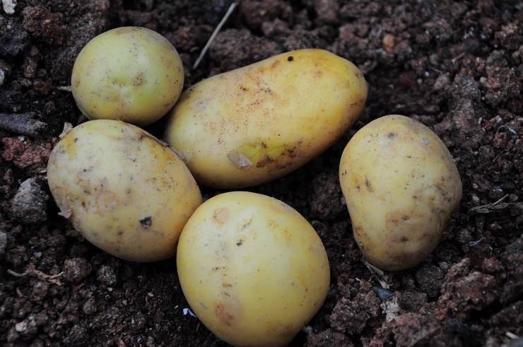 Нематода на картофеле: как не допустить и избавиться