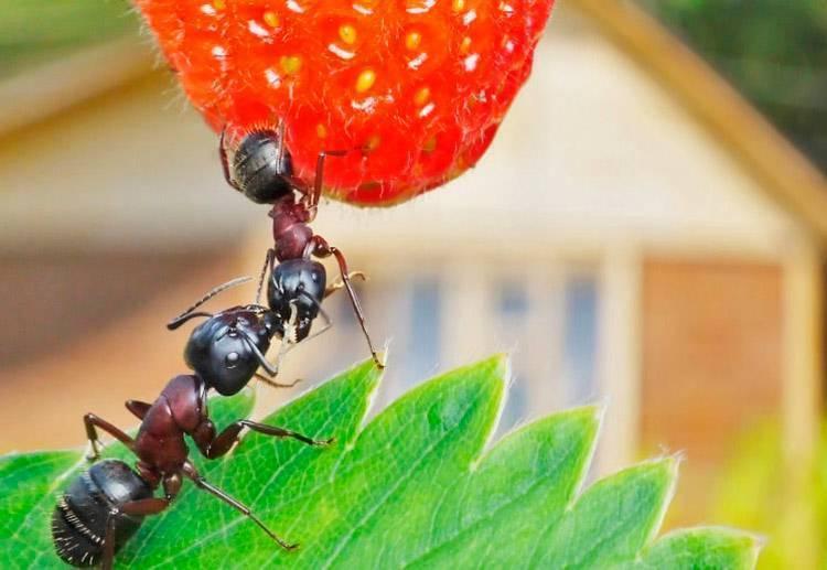 Как избавиться от муравьев раз и навсегда?
