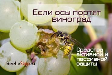 Как, когда и чем обработать виноград от болезней и вредителей
