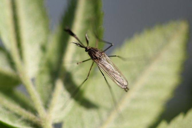 Есть ли зубы у комара