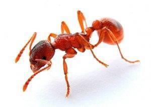 Красные огненные муравьи: внешний вид, образ жизни и среда обитания