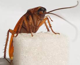 Сколько живут домашние тараканы в разных условиях