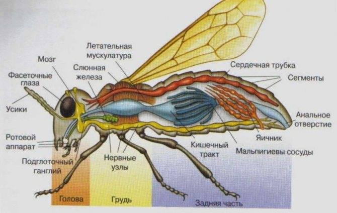 Муха цэцэ: переносчиком каких болезней является, жизненный цикл.