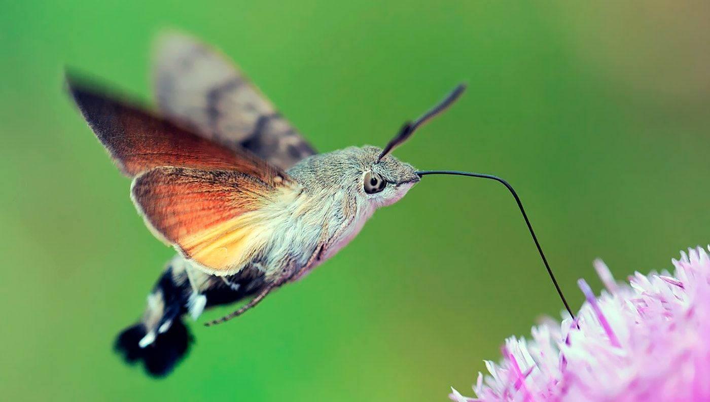 Маленькие зеленые гусеницы. винный бражник – образ жизни редких бабочек и гусениц. красивые гусеницы: название, характеристика, как выглядит, какая бабочка получается, описание, фото