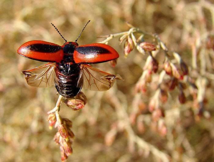 Борьба с капустным обжорой: рапсовый пилильщик