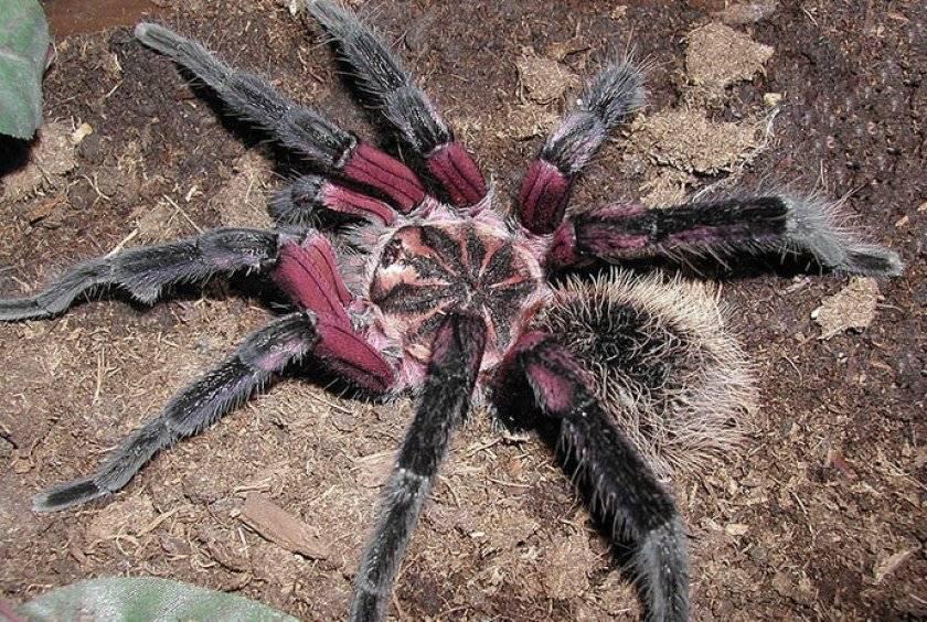 Южнорусский тарантул, или мизгирь