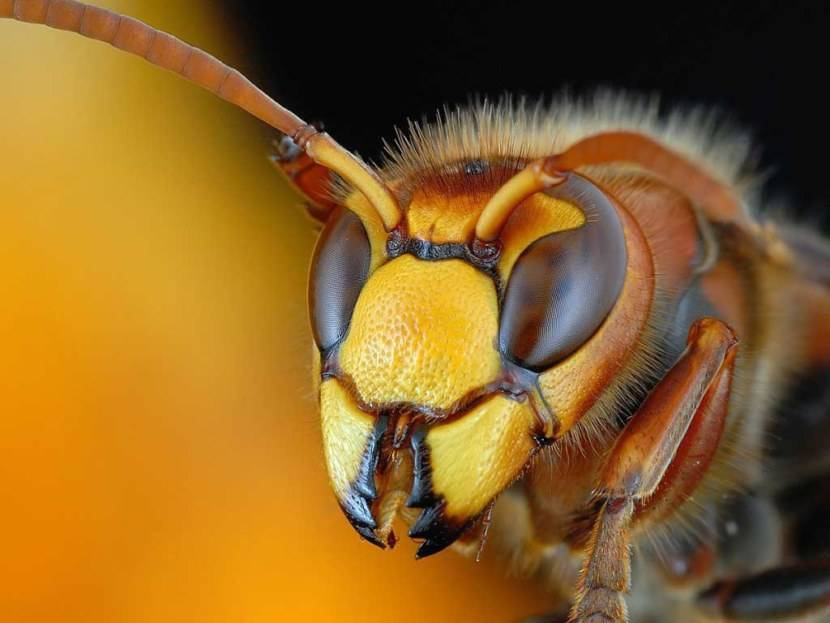 Матка осы: как выглядит
