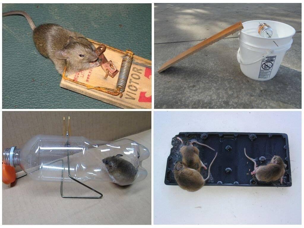 Как поймать крысу в ловушку: крысоловки своими руками