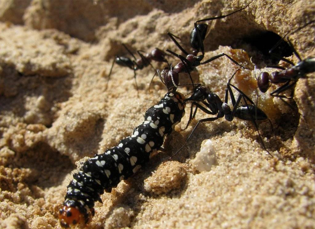 Какую пользу приносят муравьи лесу и людям?