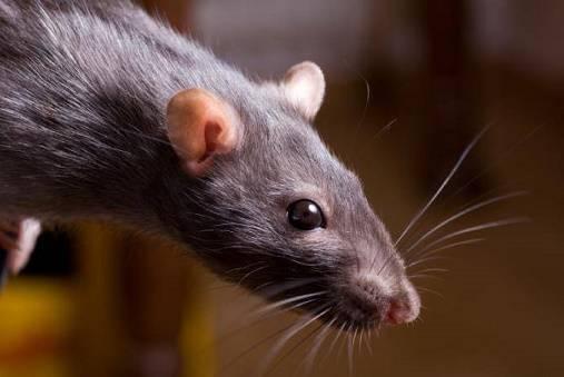 Что делать, если укусила крыса?