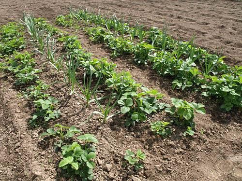 Черные и белые мошки на помидорах: как избавиться от вредителей. белые мошки на клубнике – действенные способы для спасения урожая