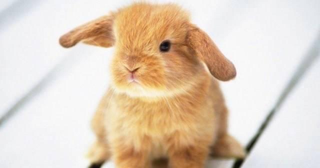 Ушной клещ у кроликов: лечение в домашних условиях