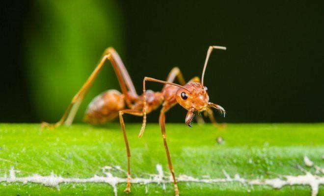 Садовые муравьи и тля: методы борьбы с насекомыми в саду