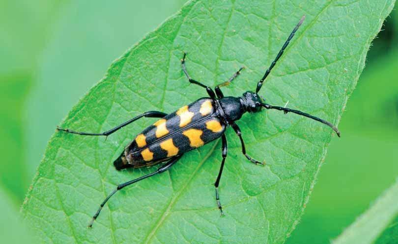 Как бороться с жуками-листоедами