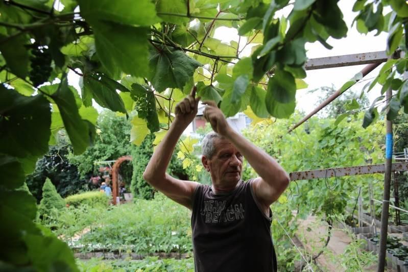 Тля на листьях винограда