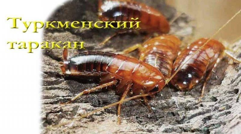 Виды тараканов (разновидности) и экзотические домашние тараканы, фото, видео. туркменский (туркменистанский) таракан (shelfordella tartara) - кормление - каталог статей - antsrussia store таракан туркменский живут в квартире если сбегут