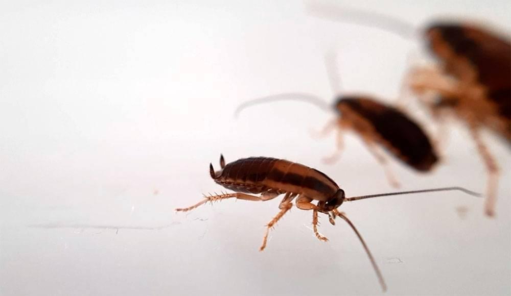 Белые тараканы в квартире: происхождение и причины появления