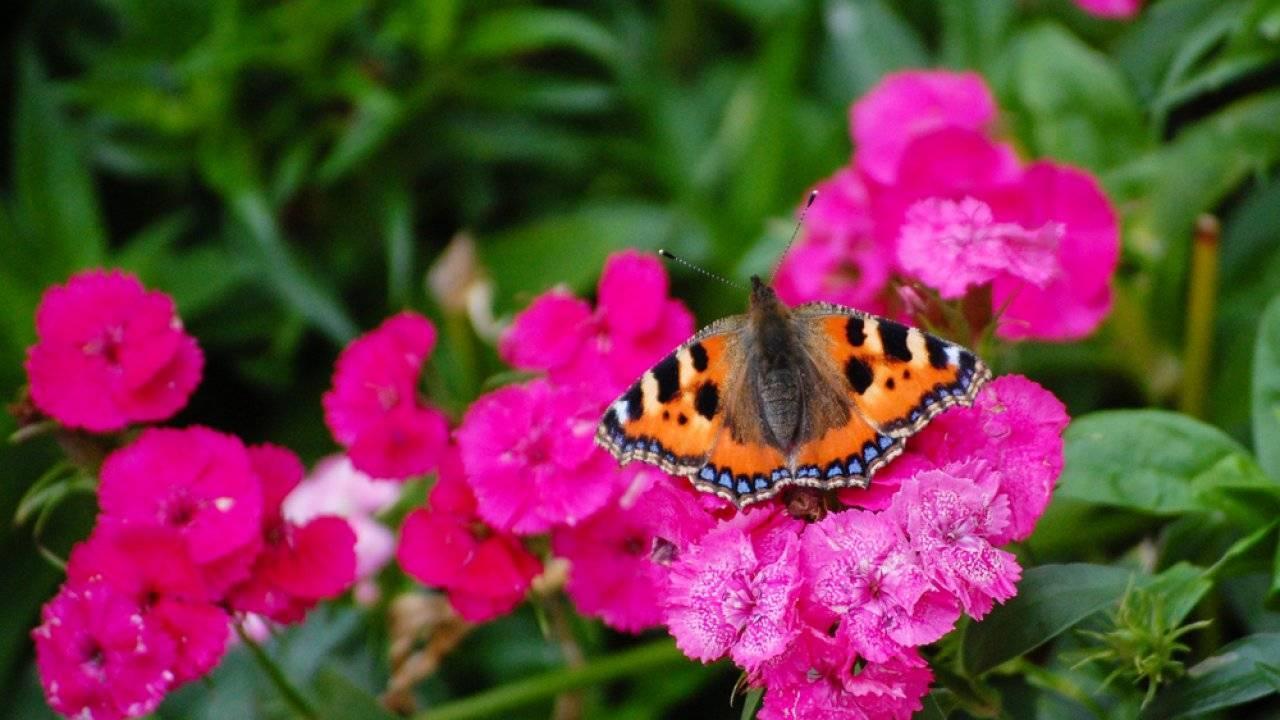 Бабочка павлиний глаз: особенности и характеристика