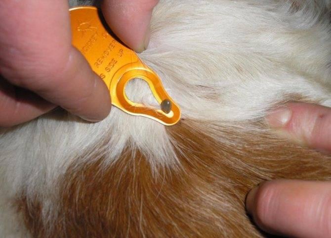 Как вытащить клеща у кота: способы удаления паразита с кожи питомца