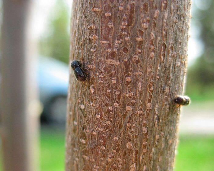 Как избавиться жука короеда в деревянном доме: лучшие работающие методики
