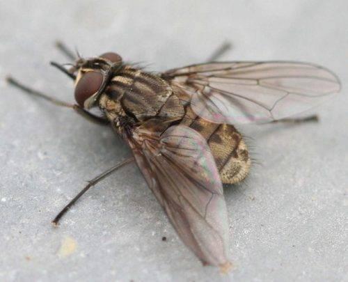 Описание и фото укусов мух, почему они кусаются