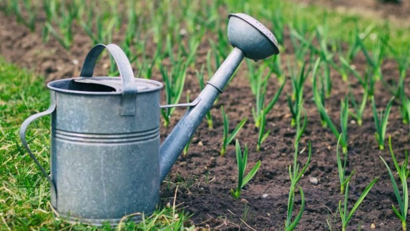 Лук желтеет, чем полить - народные средства и препараты для удобрения