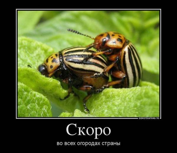 Народные методы борьбы с колорадским жуком
