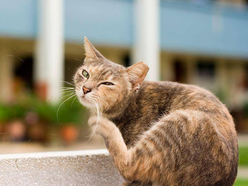 Выявляем блох у кошек