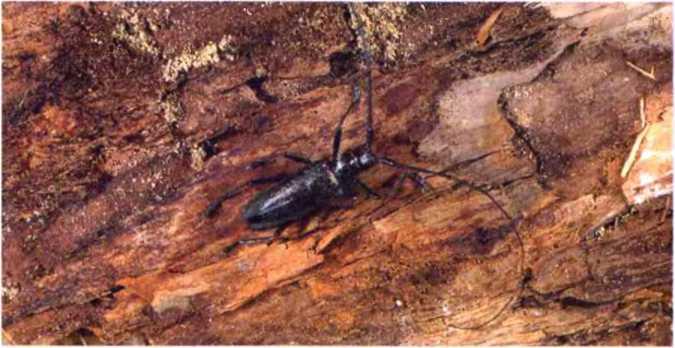 Какой вред наносит жук-усач