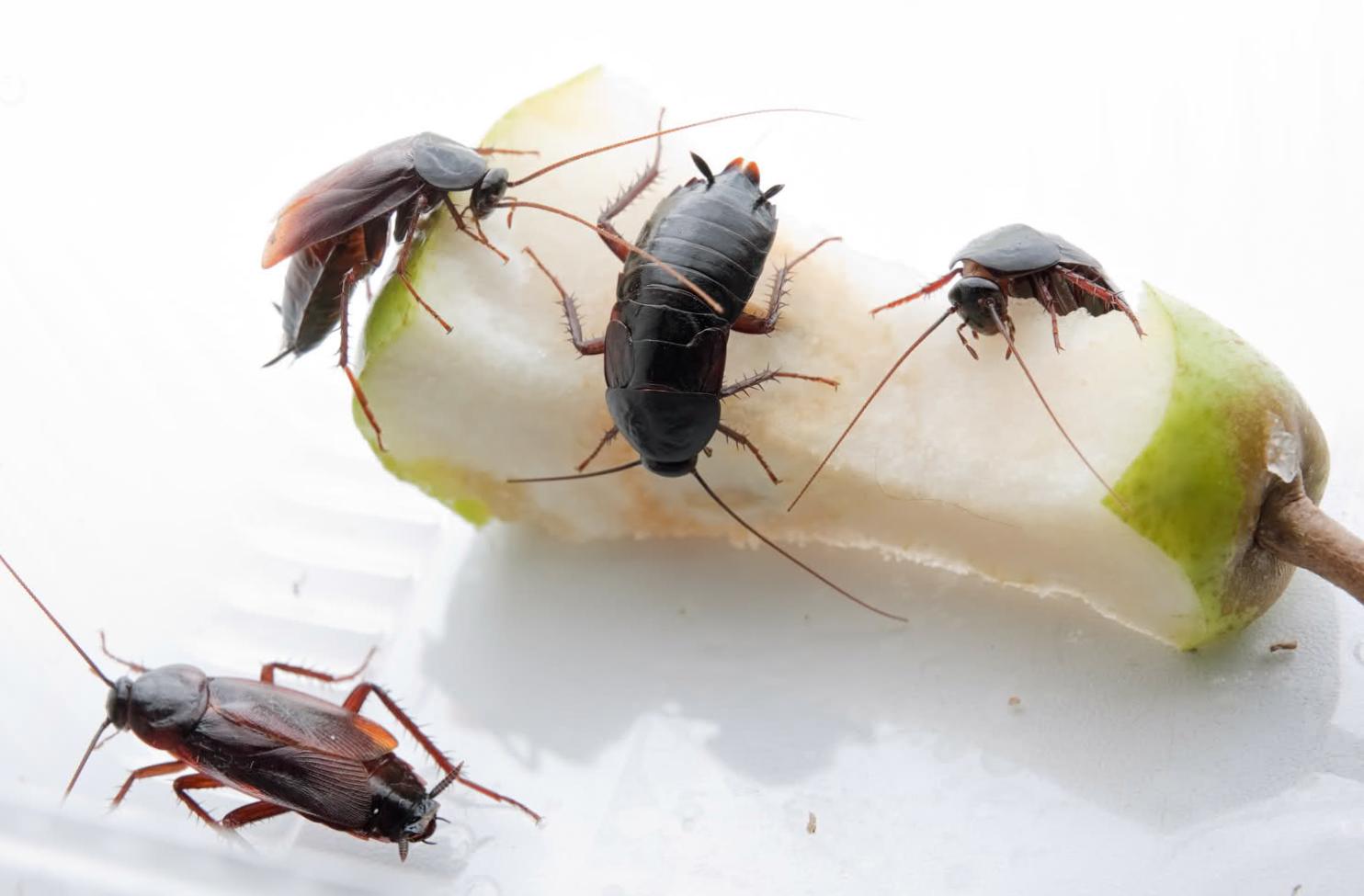Борьба с тараканами нашатырным спиртом