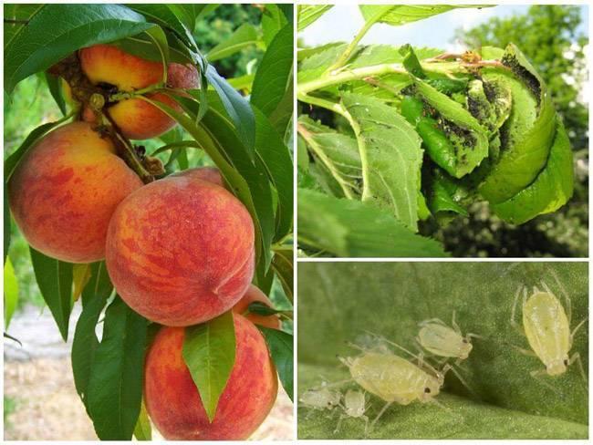 Чем обработать тлю на персике
