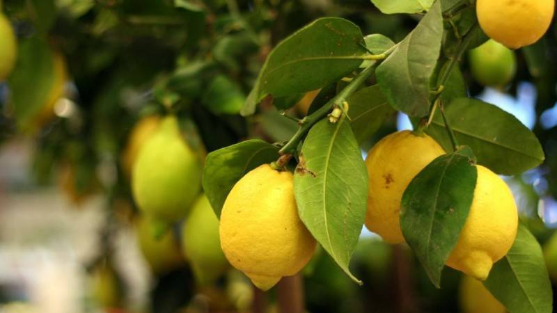 Щитовка на лимоне как избавиться