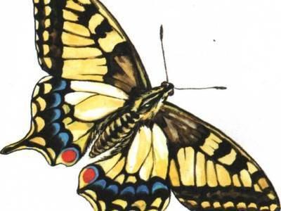 Образ жизни и описание бабочки махаон