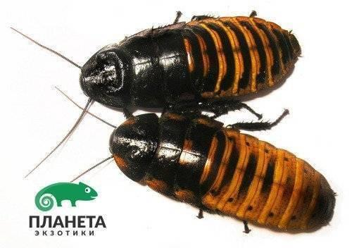 Мадагаскарский шипящий таракан – экзотическая игрушка , фото