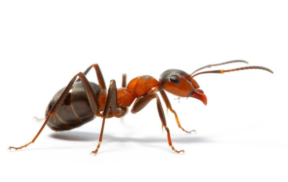 Самые ядовитые муравьи в мире