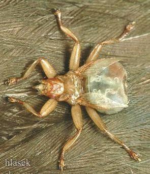 Муха кровососка в квартире как избавиться. лосиная муха: описание паразита и его опасность. алакурт, или блоха овец