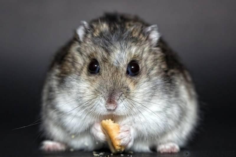 Паразиты у декоративной крысы — кто они, и как лечить?